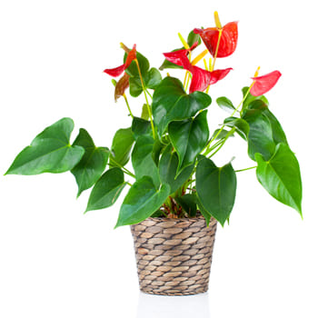 Lahuachaca flowers  -  Anturium in a Planter Flower Delivery