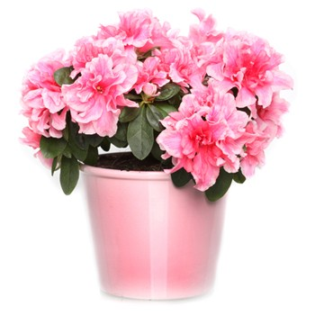 Dominica online Florist - Azalea in a Planter Bouquet