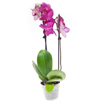 Visaginas flowers  -  Coral Orchid Flower Delivery