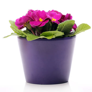 Baden flowers  -  Custom Blooming Plants Flower Delivery