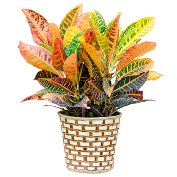 Fiji Islands,  flowers  -  Custom Green Plant Baskets Delivery