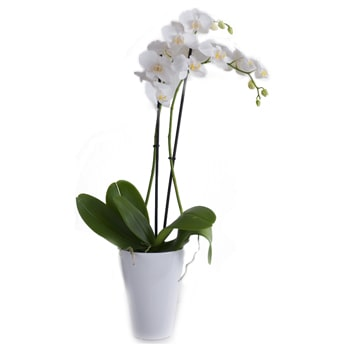 Norway flowers  -  Living Orchid Baskets Delivery