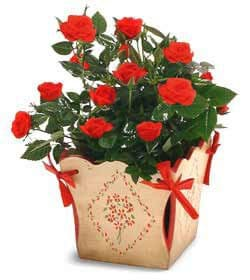 Lausanne online Florist - Mini-Rose in a Planter Bouquet