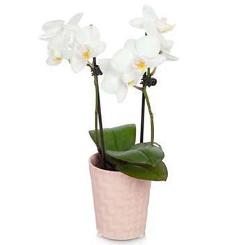 flores Playa Virginia floristeria -  Pick Me Up Orchid Cestas con entrega a domicilio