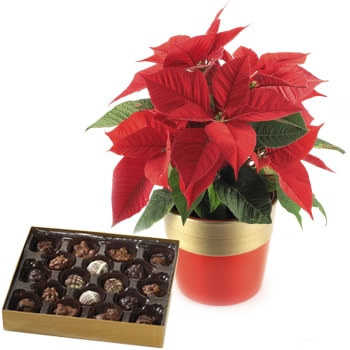 Oslo online Florist - Poinsettia Plant and Holiday Chocolates Bouquet
