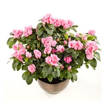 United Kingdom flowers  -  Azaleas in Bloom Baskets Delivery