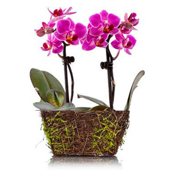 Long Beach flowers  -  Mini Orchid Baskets Delivery
