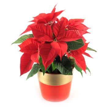 Columbus flowers  -  Poinsettia Plant Baskets Delivery
