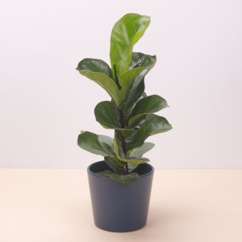 Madrid flowers  -  Ficus Lyrata Bambino 45cm - matte dark blue c Flower Delivery