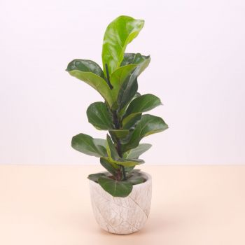 Madrid flowers  -  Ficus Lyrata Bambino 45cm Flower Delivery