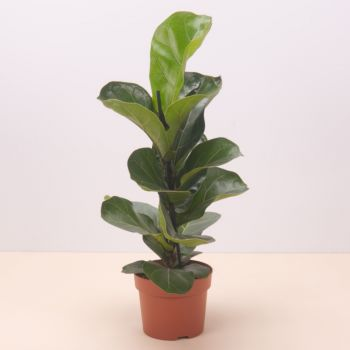 Spain flowers  -  Ficus Lyrata Bambino 45cm Flower Delivery