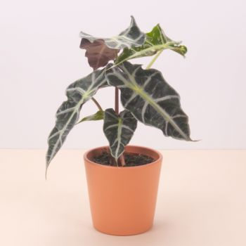 Almuñecar flowers  -  Alocasia Polly 45cm Flower Delivery
