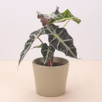 Pinos puente flowers  -  Alocasia Polly 45cm Flower Delivery