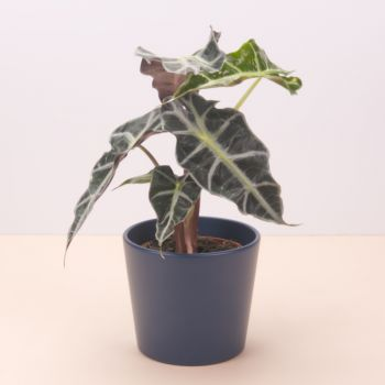 Pobla Vallbona flowers  -  Alocasia Polly 45cm Flower Delivery
