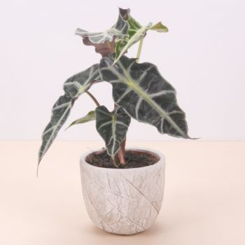 Alfas De Pi flowers  -  Alocasia Polly 45cm Flower Delivery