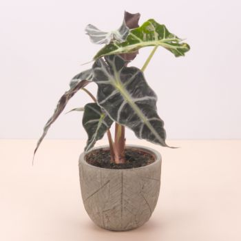 Pobla Vallbona flowers  -  Alocasia Polly 45cm - ceramic pot green leave Flower Delivery