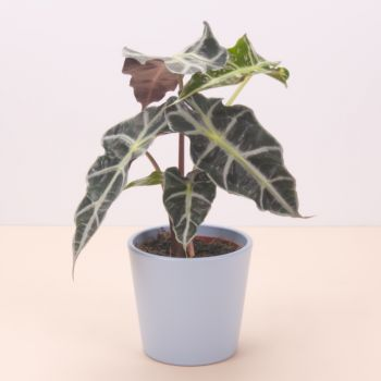 Amara flowers  -  Alocasia Polly 45cm Flower Delivery