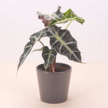 Castilleja de la Custa flowers  -  Alocasia Polly 45cm Flower Delivery