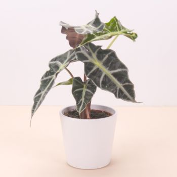 Olot flowers  -  Alocasia Polly 45cm Flower Delivery