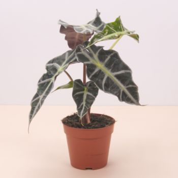 Badalona flowers  -  Alocasia Polly 45cm Flower Delivery
