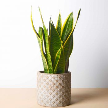 Mijas / Mijas Costa flowers  -  Sansevieria 40 cm - Square Planter Flower Bouquet/Arrangement
