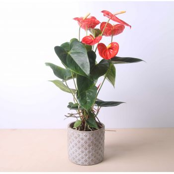 Santa Clara Golf flowers  -  Anthurium 40 cm Flower Delivery