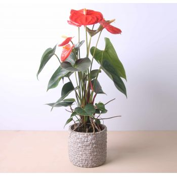 Castilleja de la Custa flowers  -  Anthurium 40 cm Flower Delivery