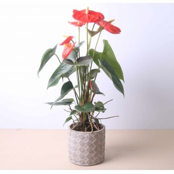 Huercal de Almería flowers  -  Anthurium 40 cm Flower Delivery