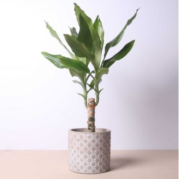 Madrid flowers  -  Dracaena Fragans 50cm Flower Delivery