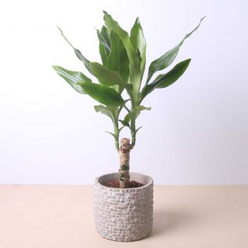 Tossa de Mar flowers  -  Dracaena Fragans 50cm Flower Delivery