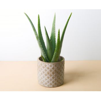 Almusafes flowers  -  Aloe Vera 40 cm - square planter Flower Delivery