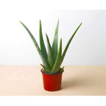 Zaragoza flowers  -  Aloe Vera 40 cm Flower Delivery
