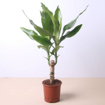 Arenys de Mar flowers  -  Dracaena Fragans 50cm Flower Delivery