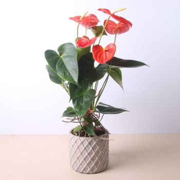 Mareny Blau flowers  -  Anthurium 40 cm Flower Delivery