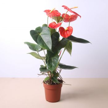 San Sebastian flowers  -  Anthurium 40 cm Flower Delivery