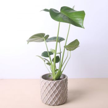Barcelona flowers  -  Monstera Deliciosa 40cm Flower Delivery