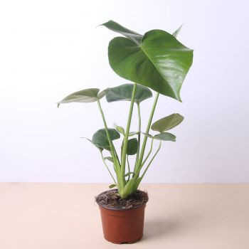 Alboraia flowers  -  Monstera Deliciosa 40cm Flower Delivery