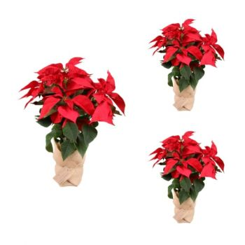 Valladolid flowers  -  Pack of 3 floors of Christmas - Height 55cm Flower Delivery