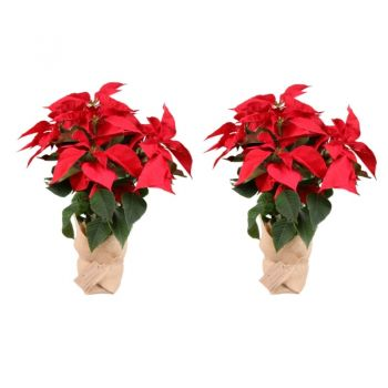 Valladolid flowers  -  Pack of 2 Christmas plants - Height 55cm Flower Delivery