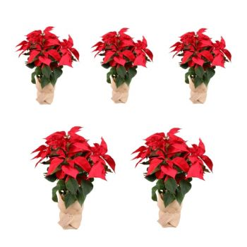 Valladolid flowers  -  Pack of 5 Christmas plants - Height 55cm Flower Delivery