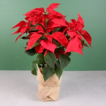 Pobla Vallbona flowers  -  Christmas Plant - Poinsettia 55cm Flower Delivery