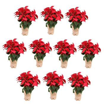 Valladolid flowers  -  Pack of 10 Christmas plants - Height 55cm Flower Delivery