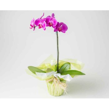 Jaraguá do Sul flowers  -  Pink phalaenopsis orchid Flower Delivery
