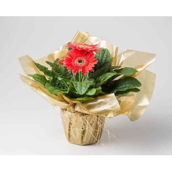 Colombo flowers  -  Planted Gerberas Flower Delivery