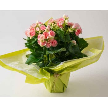 Belém flowers  -  Begonia in Gift Vase Flower Delivery