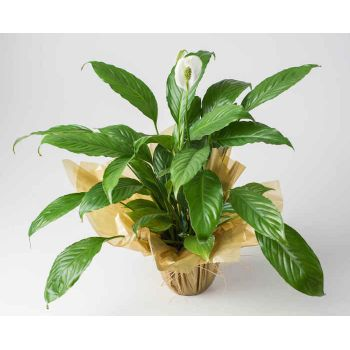 Belo Horizonte flowers  -  Peace Lilies Flower Bouquet/Arrangement