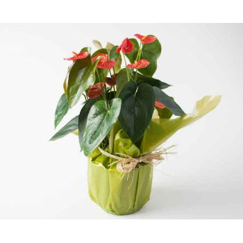 Anápolis flowers  -  Anthurium for Gift Flower Delivery