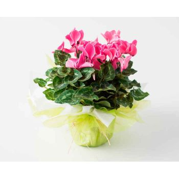 Belém flowers  -  Gift Cyclamen Flower Bouquet/Arrangement