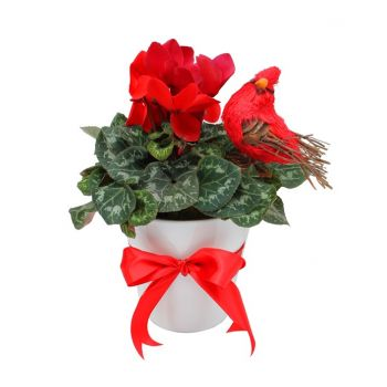 Hazmieh flowers  -  Cyclamen Pot Flower Delivery