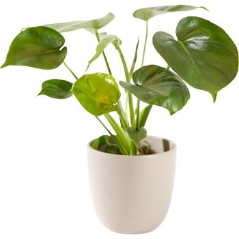Eindhoven flowers  -  Green plant including pot Flower Delivery
